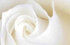 Female Vocal Artist and Jazz Singer in New York City| Close up of a white rose